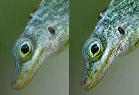darbee lizard
